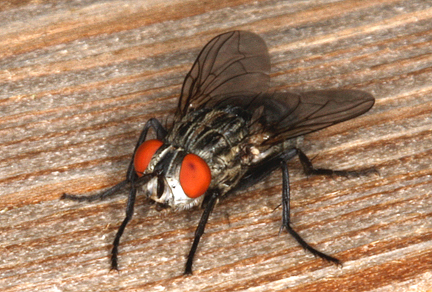 common-houseflies